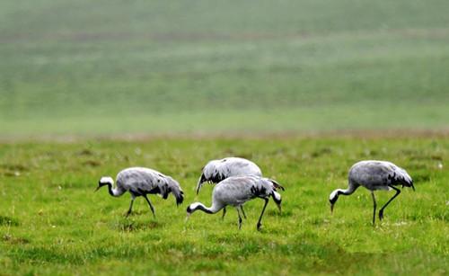 Eurasian cranes migrate to Bayanbulak Grassland