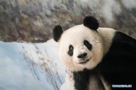 大熊猫四甲十三岁生日在黑龙江庆祝