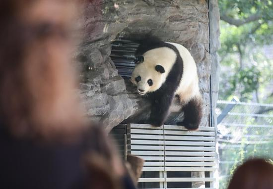 Panda Meng Meng plays at the Zoo Berlin in Berlin, capital of Germany, on Aug. 14, 2019.(Xinhua/Shan Yuqi)