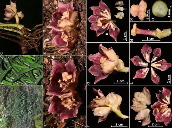 New plant species discovered along China-Myanmar border