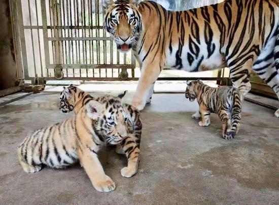 五只新生的西伯利亚虎公开露面