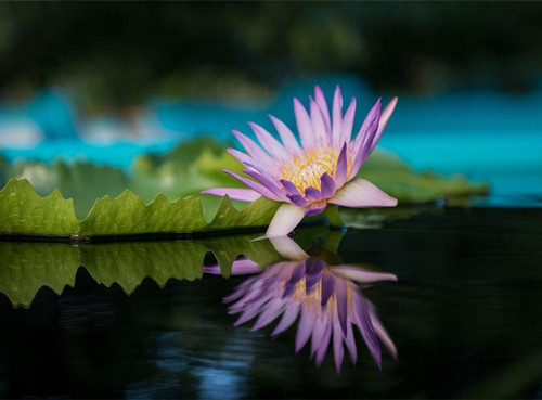 Water lilies take centerstage at Chenshan Botanical Garden
