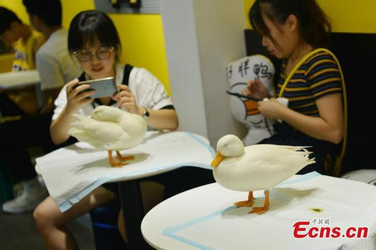 Pet ducks woo customers to cafe in Chengdu