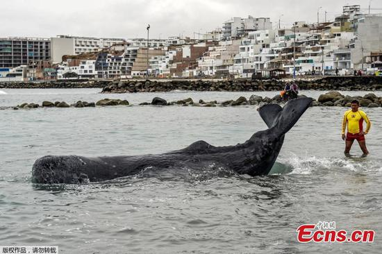Stranded whale saved in Peru