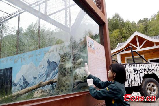 Young keeper for snow leopards at Qinghai zoo