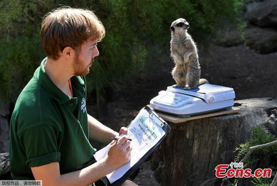 伦敦动物园启动最棘手的年度任务-称量