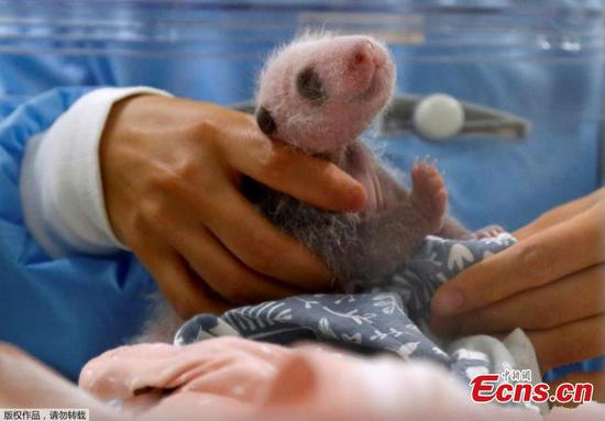 Newborn twin panda cub opens its eyes in Belgium