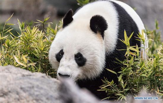 Australian zoo celebrates birthday for pandas