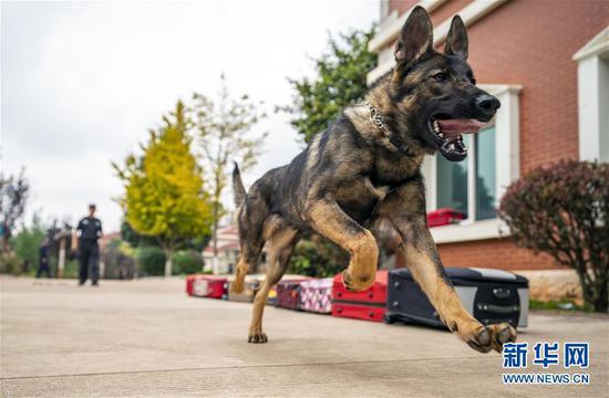 中国第一只克隆警犬准备出差