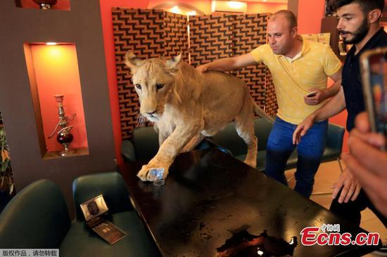 Man tames 15-month old lion 'Leo' in Iraq