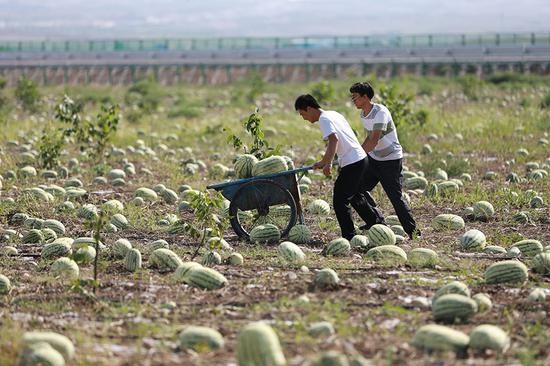 Watermelons mean wealth for villagers in desert