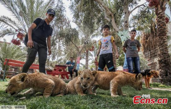 Lion cubs born at Gaza zoo