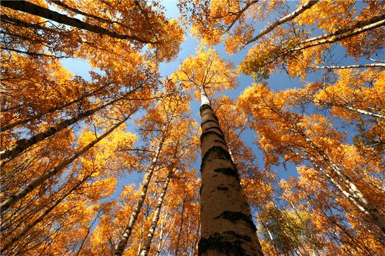 Inner Mongolia's scenery peaks in fall