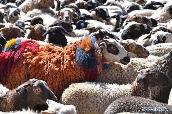 羊秀在中国西藏