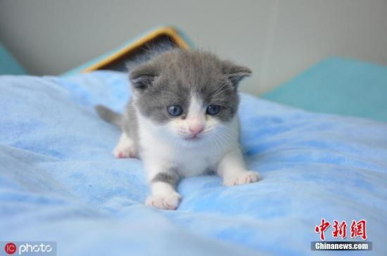Photo shows China's first cloned cat, named Garlic. (Photo/IC)