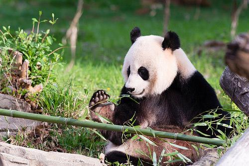 Giant panda Mei Xiang not pregnant: U.S. zoo