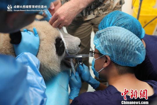 Doctors of the giant panda research base in Chengdu, Sichuan Province, carry out dental examinations for giant pandas. (Photo/China News Service)
