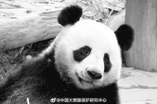 Thailand's panda suffered heart attack