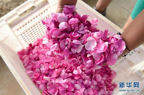 Rose planting creates a rosy life in Xinjiang