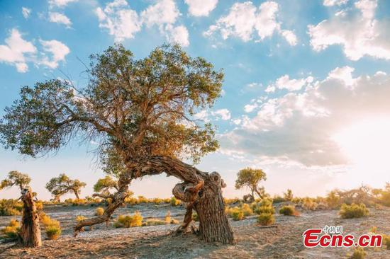 Xinjiang's golden desert poplar proves big draw for tourists