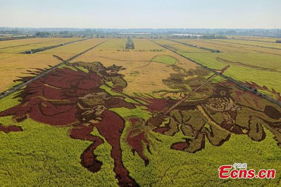 Rice paddy art in Helan County, NW China's Ningxia