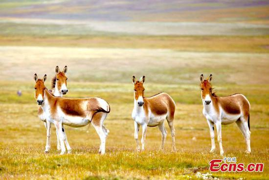 Native asses inhabit grasslands of the Tibetan Plateau