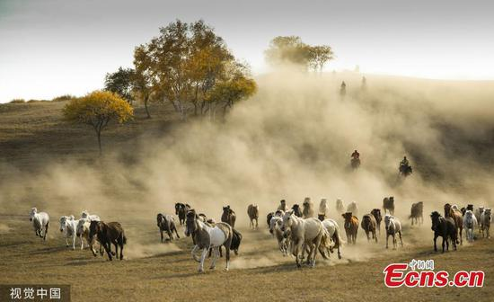 Prancing horses captured in Inner Mongolia