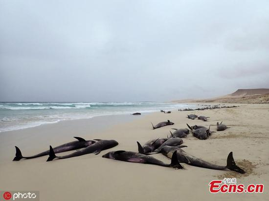 Over 100 dolphins stranded on beach in Cape Verde