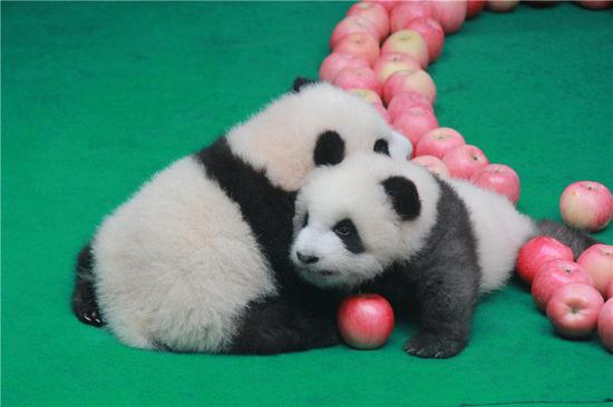 Two panda cubs born in 2019 snuggle up together while they make a public appearance at the Chengdu Research Base of Giant Panda to celebrate the upcoming 70th anniversary of the founding of the PRC, in Chengdu, Southwest China's Sichuan Province, on Sept. 24, 2019. (Photo provided to chinadaily.com.cn)