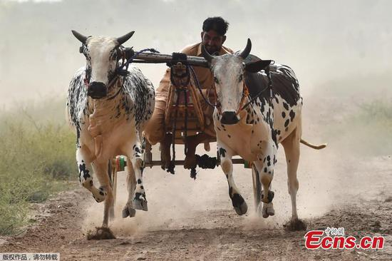 Farmers take part in traditional bull race in Faisalabad