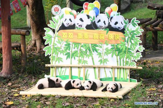 Two pairs of newborn giant panda twins are pictured at an outdoor naming ceremony in southwest China's Chongqing Municipality, Sept. 30, 2019. The two pairs of giant panda twins, born on the same day by their mothers Lanxiang and Mangzai on June 23, were named Shuangshuang, Chongchong, Xixi and Qingqing respectively at Monday's ceremony. (Xinhua/Tang Yi)
