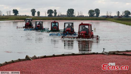 Workers harvest cranberries in Belarus