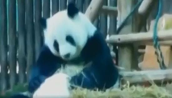 Thailand's panda died from heart attack: experts