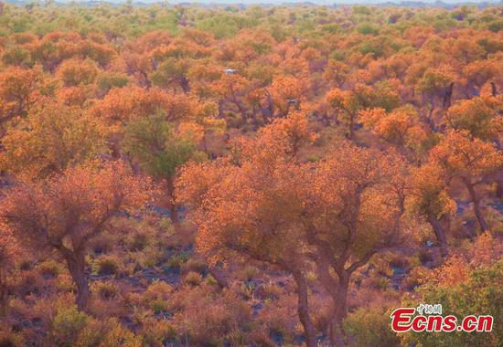 Beautiful view of desert poplar in Xinjiang