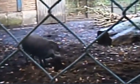 Video footage shows a pig using bark and sticks to build their nest. (Photo/Screenshot)