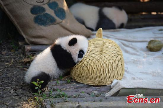 Panda cub wrestles with basket