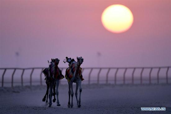 Camels participate in training for racing in Kuwait