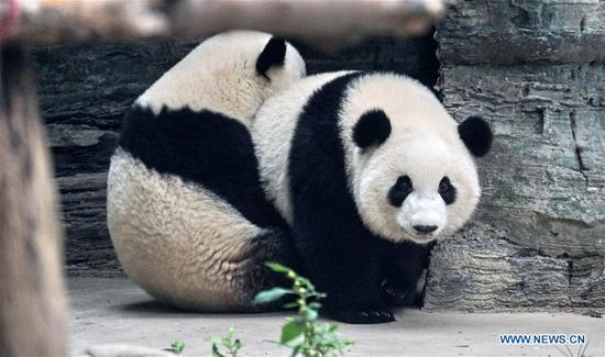 Giant panda twins debut in Beijing