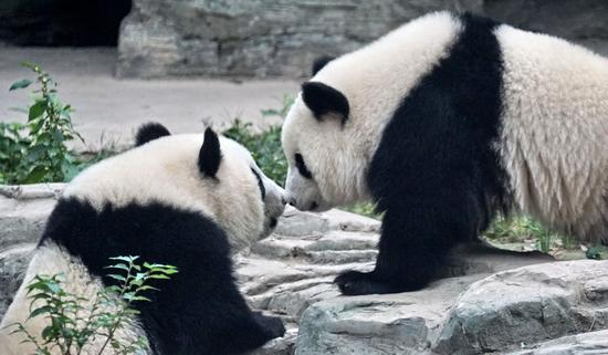 Giant panda twins Mengbao and Mengyu are seen at their new home at the Beijing Zoo in Beijing, capital of China, Oct. 13, 2019. (Xinhua/Li Xin)