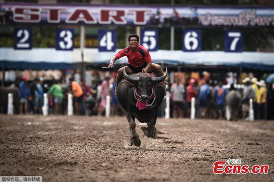 Racers compete during buffalo racing in Chonburi, Thailand