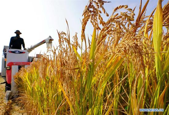 Paddy field in Hebei's Caofeidian District enters harvest season