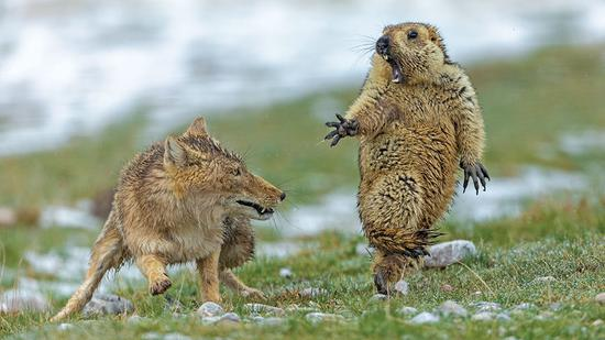 Chinese photographer Bao Yongqing's picture The Moment, taken on the Qinghai-Tibet Plateau, has won the Natural History Museum's Wildlife Photographer of the Year competition. The result was announced in London. (Bao Yongqing/Wildlife Photographer of the Year)