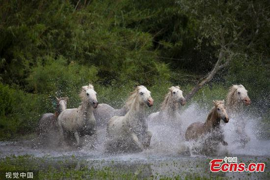 Pictures show herd of Camargue horses charging through river in France