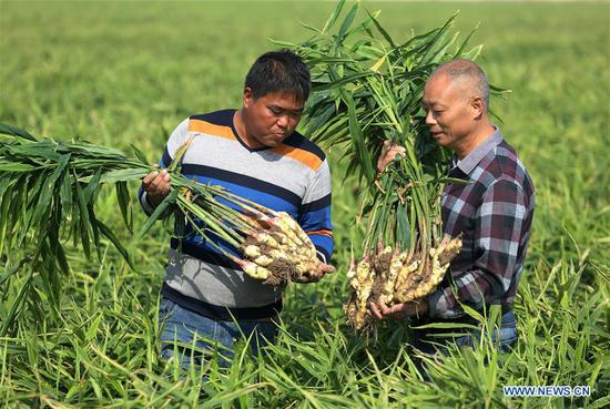 Ginger harvested in Zhaoxian County, China's Hebei