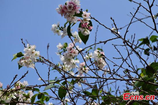 Cherry tree blossoms off-schedule at Wuhan University