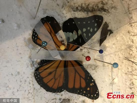 Butterfly receives life-saving wing transplant at zoo