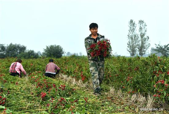 Naodian Township develops cultivation of chili pepper to raise income