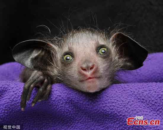 Rare baby aye-aye born at lemur center in U.S.