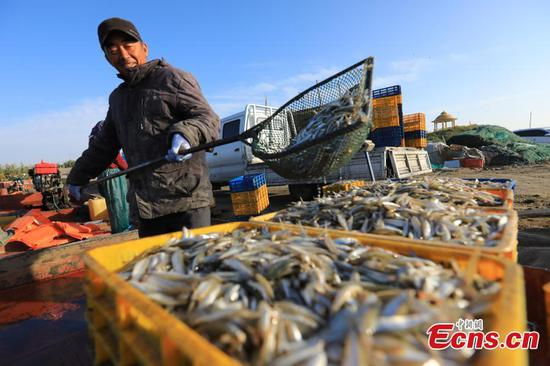 Fishermen harvest pond smelt fish in Xinjiang