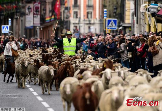 Sheep take over streets of Madrid for annual migration